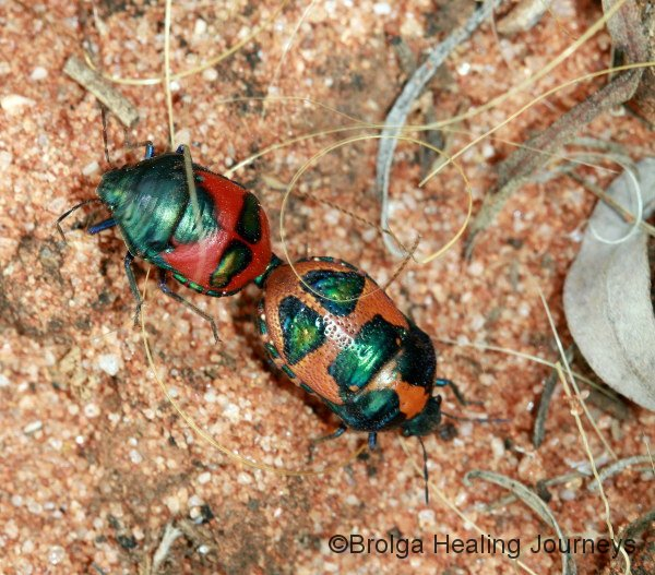 Two colourful bugs making new bugs!