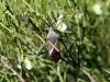 A bug on an Acacia.