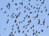 A flock of Budgerigars.