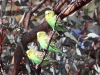 Close-up of Budgerigars.