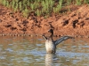 A very animated duck in a Scotia dam (sorry, not sure of the species).