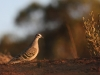 Common Bronzewing, late afternoon.