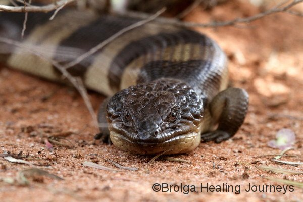 Close-up of the Western Blue-tongue lizard