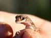 Beaked Gecko