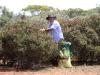 Hard at work.  Peter collecting Acacia seeds