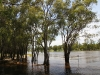 Murray River at Mildura. Great to see the river in full flow