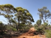 Old-growth mallee at Scotia