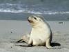 Young Sea-Liom on beach at Seal Bay, Kangaroo Island