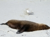 Adult male Australian Sea-Lion and Silver Gull, Seal Bay
