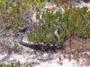 Peninsula Brown Snake blocks the path, Memory Cover Wilderness area, Eyre Peninsula, SA