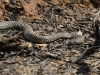 Mulga Snake (also known as the King Brown), Alice Springs Desert Park