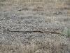 Western Brown Snake, est 1.5 to 2 metres long, Dakalanta  sanctuary