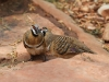 Beautiful Spinifex Pigeons getting amorous