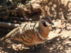 Spinifex Pigeon, Alice Springs