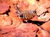 Spinifex Pigeon, Kings Canyon NT