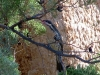 Spiny-Cheeked Honeyeater, northern Flinders Ranges, SA