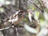 A pair of Spiny-Cheeked honeyeaters