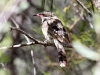 Spiny-Cheeked Honeyeater, MacDonnell Ranges foothills, NT