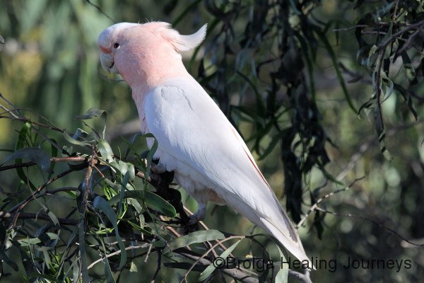 Pink Cockatoo, also called the Major Mitchell's Cockatoo, West MacDonnell Ranges