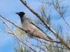 Black-Faced Cuckoo Shrike, Alice Springs