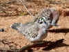 Crested Pigeons, Alice Springs