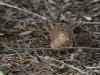 Little Quail Thrush, alice Springs Desert Park