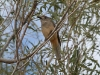 Western Shrike Thrush, I think, West MacDonnell Ranges