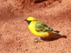 Orange Chat (I know, it looks yellow, Alice Springs Desert Park