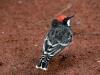 Crimson Chat, Alice Springs Desert Park