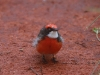 Crimson Chat, Alice Springs Desert Park, looking a little bit annoyed!