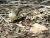 Yellow-Rumped Thornbill, Alice Springs Desert Park