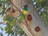 Australian Ringneck Parrot, Todd River north of Alice Springs