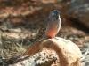 Bourke's Parrot, Alice Springs Desert Park