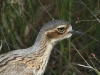 Bush-Stone Curlew, Alice Springs