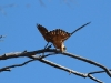 Australian Hobby fans out its tail to keep balance as it feeds high up, Rocky Gap walk