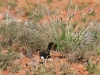 Willy Wagtail, Rocky Gap walk, West MacDonnell Ranges