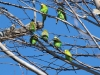 The Budgerigars are everywhere!  West MacDonnell Ranges