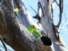 Budgerigars - mother feeding young near Rocky Gap, West MacDonnell Ranges