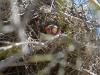The Zebra Finch in its nest, Alice Springs