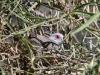 Diamond Dove on its nest, Alice Springs