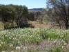 Looking across wildflowers towards Simpson's Gap