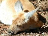 Red Kangaroo relaxes in the sunshine, Alice Springs Desert Park