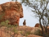 Black-Footed Rock Wallaby (endangered), near Old Telegraph Station, Alice Springs