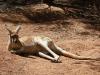 Red Kangaroo enjoys the sunshine, Alice Springs Desert Park