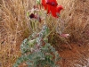 Sturt's Desert Pea, Pilbara WA