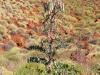 Sturt's Desert Pea - Pilbara WA.  Unusual tall variety