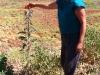 Sturt's Desert Pea - Pilbara WA.  Nirbeeja examines unusual tall variety
