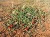 Sturt's Desert Pea - Murchison region WA
