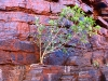 A young Fig Tree gets a foothold, Joffre Gorge, Karijini