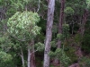 View from the Tree Top Walk near Walpole WA.  Giant Tingle Tree ascends to the clouds.